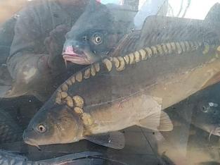 Peste viu din acvariu - свежая рыба из акварума